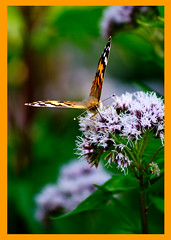 AH62_8274 (der_andyrandy) Tags: schmetterling butterfly blumen blte natur outdoor macro canoneos7d amazingamazing thisphotorocks wow ngc