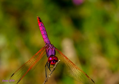 Una Roja.... (loriagaon) Tags: galicia pontevedra espaa sonyrx10lll rx10lll macro loriagaon loria animales animals libelula dragonfly naturaleza nature sonydscrx10iii