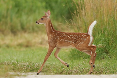 Fawn - Jul-02-2016 (18-1) (JPatR) Tags: summer nature illinois wildlife july deer whitetaileddeer 2016 500mmf4 burnidge burnidgeforestpreserve canon7dmarkii