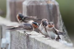 Cliff Swallow (martytdx) Tags: sanfrancisco ca birds adult lifelist birding july fremont swallow hirundinidae cliffswallow petrochelidonpyrrhonota donedwardsnwr petrochelidon