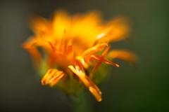 Orange Flower 5 Macro f1.2 (dennisgg2002) Tags: towerhillbotanicalgardenboylston massachusetts flowers vintage lens wide open
