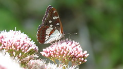 Limenitis reducta  (Le sylvain azur) (bernard.bonifassi) Tags: bb088 06 alpesmaritimes 2016 thiery papillon insecte counteadenissa lesylvainazur