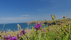 20160719_Padstow_0062 Orchids~Padstow Bay (paul_h2525) Tags: swcoastalpath orchids padstowbay cornwall