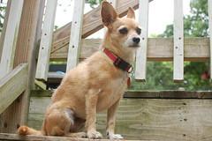 DSC_9499 (ghoulia) Tags: dogs dogvacay rovercom mutts chihuahua yorkie pomeranian
