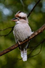 IMG_5451 (bektravels) Tags: sigma 150600mm c canon70d birding wildlife australia australian kookaburra bird native gumtree wattle tree wild