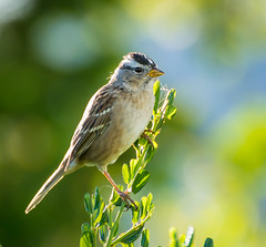 Wait for it. (Omygodtom) Tags: bokeh wild wildlife nature natural nikon d7100 bird sparrow songsparrow outdoors lens green real abstract animalplanet nikon70300mmvrlens
