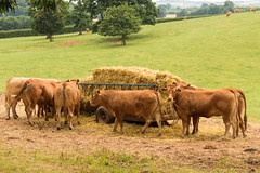 Dinner time! (Keith in Exeter) Tags: cows farm field straw grass devon england