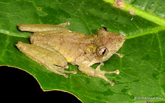 Fringe Lipped Treefrog, Scinax garbei (Ecuador Megadiverso) Tags: amazon amphibian anura fringelippedtreefrog frog hylidae rainforest reservaecologicatamandua scinaxgarbei andreaskay ecuador