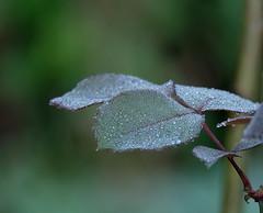 Sugar on leaves (Goruna) Tags: leaves autumn dew waterdrops green plant texture morningdew goruna