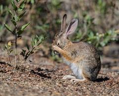 "Cotton-tail rabbit ""In Prayer"" and Explored (sharp shooter2011) Tags: cottontailrabbit inprayer mammal rabbit"