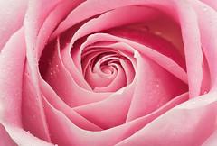 Pink Rose (Sandyp.com) Tags: rose pinkrose flower macro topazsoftware sonyalpha sonya7rii raindrops
