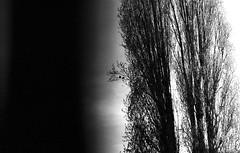 Polmone (miriam.lonardi) Tags: pentax pentaxmx 35mm 50mm 50mmlens 5017 film filmphotography filmlovers filmisnotdead filmlover bw blackandwhite maastricht olanda paesibassi alberi polmone uccelli biancoenero pellicola