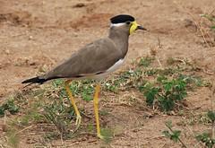 Yellow-wattled Lapwing (MKBirder) Tags: yellowwattledlapwing lapwing bird srilanka udawalawenationalpark waser wattle legs plover wader