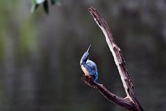 Isosceles Triangle (ogawa san) Tags: kanagawa kanazawabunko kingfisher yokohama bird wildbird blue orange young rain wet water