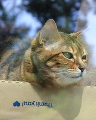 ...for rescuing me.  (TAVE77) Tags: canonrebelt2i canon cute domesticanimals animalrescue rescue pets bengalcat bengal kitties kitty cats cat