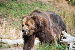 Grizzly (jeff's pixels) Tags: grizzly brown bear mammal animal fur teddy nature nikon d750 wildlife zoo woodland park