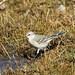 Water Pipit (Anthus spinoletta)