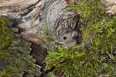 Wood mouse (PhotoCet) Tags: photocet mouse rodent peeping log elm moss woodmouse apodemussylvaticus hole knothole