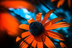 #macro #closeup #orange #red #flowers #flower #blue #summer #plant #nature #vibrant (dario0806) Tags: summer blue vibrant nature red closeup flower plant flowers orange macro
