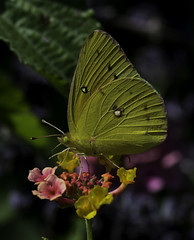 Butterfly_SAF2147-2 (sara97) Tags: butterfly copyright2016saraannefinke flyinginsect insect missouri nature outdoors photobysaraannefinke pollinator saintlouis towergrovepark