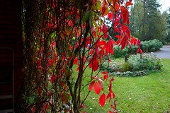 Fall (sakarip) Tags: sakarip september fall autumn villiviini parthenocissus syksy finland kotka lankila