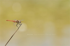 Red-veined darter (Marijke M2011) Tags: dragonfly insect maledragonfly nature natuur libel macro outdoor sympetrumfonscolombii