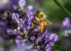 Bee there (mariajensenphotography) Tags: bee bees insects nature lavendar flowers animals outdoors plants spring summer
