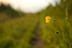 tuned (JoannaRB2009) Tags: flower yellow nature green path road meadow grass dzkie lodzkie polska poland summer