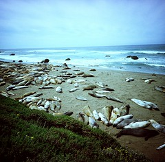 (golfpunkgirl) Tags: cambria cali california 2016 may lomo lomography 120 mediumformat lca120 film negfilm lomography400 sealions coast sea molting trip roadtrip travel highway1 holiday
