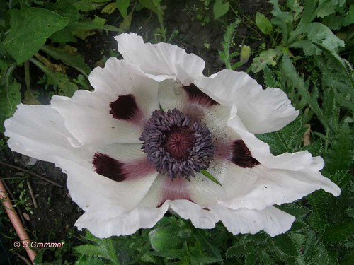 Papaver-oriental-Perry-s-white