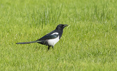 Magpie (Margaret S.S) Tags: magpie corvid eurasian