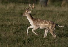 3H8A3967 (shay connolly) Tags: fallow deer dublin phoenix parl wildlife shay connolly