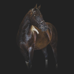 (onapaperplane) Tags: horse horses equine equestrian photography mine black background portrait bb america paint association quarter off trac nemo topper odie atticus finch sealites domino hunter jumper hunterjumper eventer eventing 3day xc cross country show jumping dressage