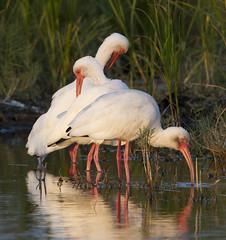 BI121119-571-White Ibis (lgooch) Tags: texas whiteibis eudocimusalbus southpadreisland taxonomy:binomial=eudocimusalbus november2012 southpadreislandbirdingandnaturecenter