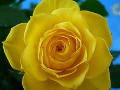 YELLOW ROSE  ' AUSMAS' aka 'Graham Thomas' . (eagle1effi) Tags: leica flower macro nature rose yellow germany deutschland lumix flora who panasonic amarillo gelb crop flowering series aviary merrychristmas tuebingen christmastime edit tbingen damncool tubingen masterclass wrttemberg badenwuerttemberg views100 tubinga fx10 gelberose bildreihe eagle1effi dmcfx10 resharpened damcool lumixfx10 naturemasterclass ae1fave ae1faves dibenga stadttbingen beautiflower beautifulcityoftubingengermany beautifulcityoftbingengermany ber100malgesehen