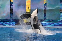Tillikym (Megakillerwhales) Tags: malia killer whale orca seaworld kayla killerwhale orcas tilly killerwhales katina orcawhales cetaceans cetacean nalani seaworldorlando orcawhale trua tillikum makaiko nalanidreamer megakillerwhales