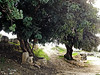 Two beautiful old trees (VillaRhapsody) Tags: old city trees two ancient antique fethiye lykia lycian preroman letoon