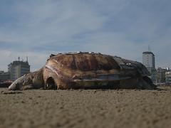 8 (bellimarco) Tags: beach death turtle morte ferrara tartaruga spiaggia lido cioran palazzi estensi