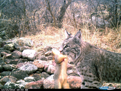 Photo - Rodent Control (Bobcat with Fox Squirrel)