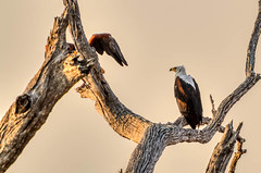 """Fish Eagle in Chobe National Park, Botswana • <a style=""""font-size:0.8em;"""" href=""""https://www.flickr.com/photos/21540187@N07/8293298073/"""" target=""""_blank"""">View on Flickr</a>"""
