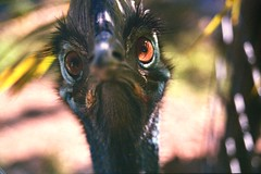 Australia-Cairns-Cassowary (clear_eyed_man) Tags: australia queensland cassowary