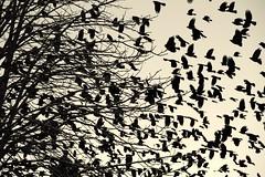 jay take-off (enki22) Tags: abstract nature jay natura conceptual enki22
