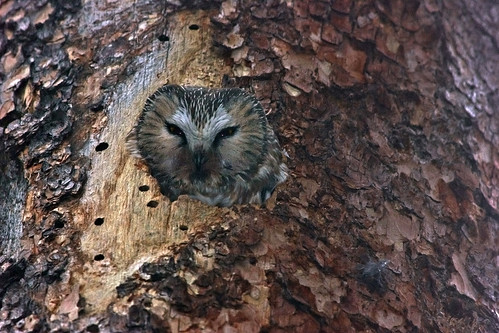 Photo - Saw-whet Owl