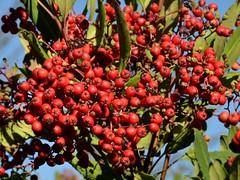 Brilliant ripe berries of native Christmas Berry aka Toyon (Heteromeles arbutifolia, Rosaceae) (Treebeard) Tags: california berry santabarbaracounty rosaceae toyon sanmarcospass christmasberry heteromelesarbutifolia californiaholly