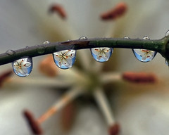 macro water rain drop drip dew stamen refraction piatol