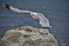 DSC0056 (suburr1ccu) Tags: new sea beach nature flickr mare like natura dont gabbiano scogli i