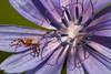 Wonder where hides this little bug that I planned to eat for dinner... (Michel Couprie) Tags: flower macro nature fleur canon bug eos spider 100mm petal 7d insecte araignée