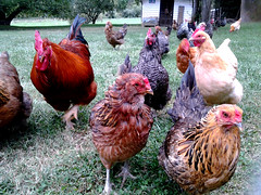 Give Back the Eggs and No One Gets Hurt (Cindy DeVore) Tags: chickens poultry farms roosters farmsandfoodpec2013