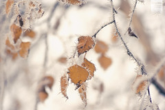 once more with frost [Explored] (desomnis) Tags: autumn winter cold leaves closeup canon eos 350d frozen leaf frost dof bokeh hoarfrost smooth sigma frosty depthoffield rime 70300mm canoneos350d eos350d whitefrost sigma70300 frostyrime