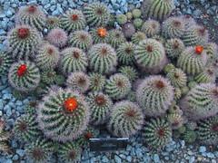 Cactus in the Greenhouse (failing_angel) Tags: cactus kewgardens london kew cacti conservatory botanicalgarden succulents royalbotanicgardens princessofwales princessofwalesconservatory georgeiii gordonwilson williamchambers sirjosephbanks 131012 williamaiton princessaugusta lordcapeljohnoftewkesbury augustadowagerprincessofwales
